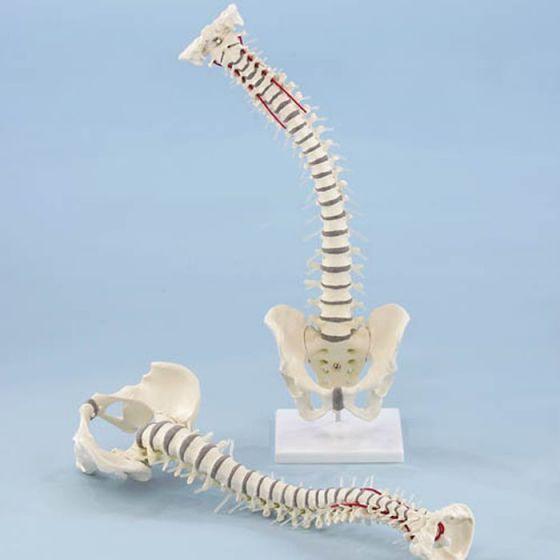 Modèle de colonne vertébrale avec bassin démontable et support 4009 Erler Zimmer