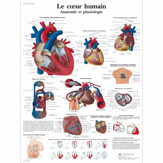 Planche anatomique Le coeur humain VR2334L