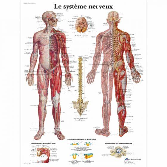 Planche anatomique Le système nerveux VR2620L